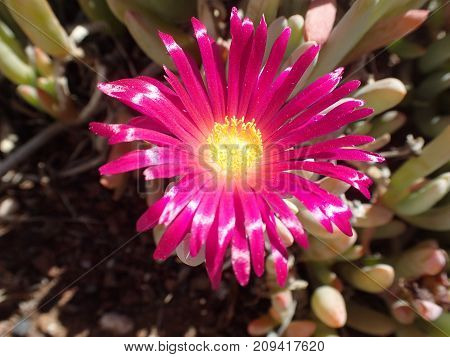 Rote Blume mit gelbem Stempel, red flower with yellow middle