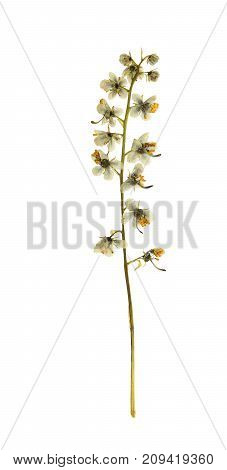 Pressed and dried flowers pyrola isolated on white background. For use in scrapbooking floristry (oshibana) or herbarium.
