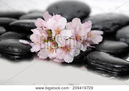 Still life with wet black stones with branch cherry flowers
