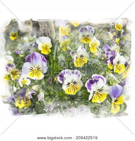 Beautiful yellow and purple blossom pansy. Watercolor painting (retouch).