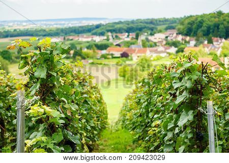 Row vine grape in champagne vineyards at montagne de reims on countryside village background France