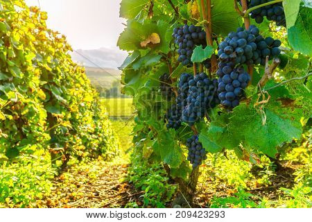 Row vine grape in champagne vineyards at montagne de reims France