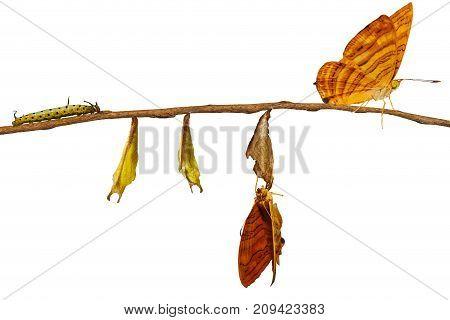 Isolated Life Cycle Of Common Maplet (chersonesia Risa ) Butterfly Hanging On Twig