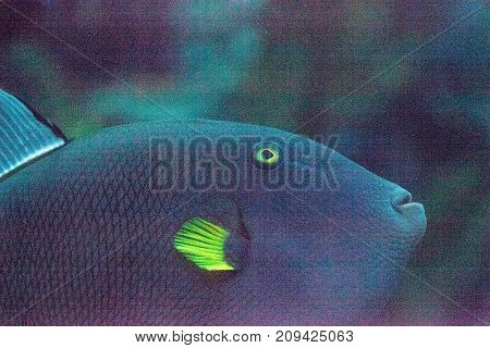 Pinktail triggerfish with yellow fins Melichthys vidua is found on a coral reef