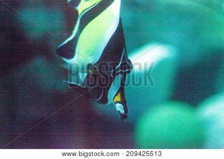 Yellow And Black Moorish Idol Fish Zanclus Cornutus