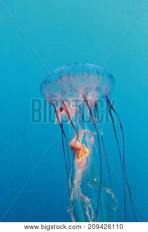 Purple Striped Jellyfish, Chrysaora Colorata