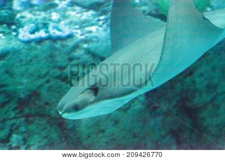 Stingray Of The Dasvatis Genus