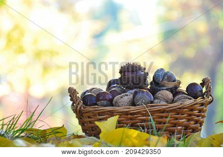 Basket with chestnuts and walnuts. Nuts in basket on floor in autumn