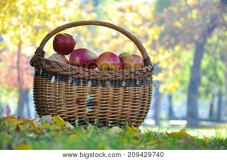Basket with organic apples in orchard. Basket with apples on yellow leaves in autumn
