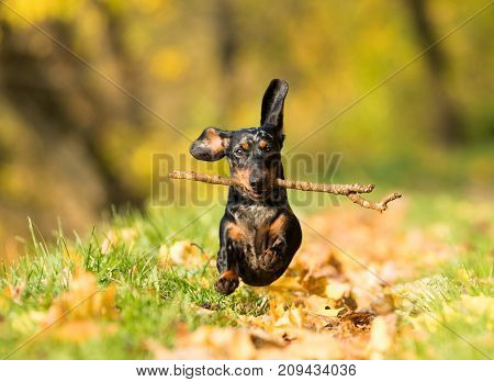 dachshund plays with a stick