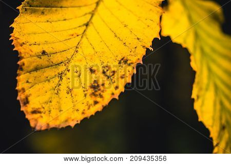 Autumn dry yellow leafs close up with dark background. Shallow depth of field