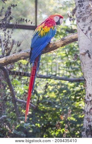 Red ara macaw parrot. Bird in zoo