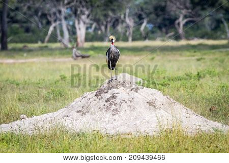 Grey Crowned Crane Standing On A Termite Mount.