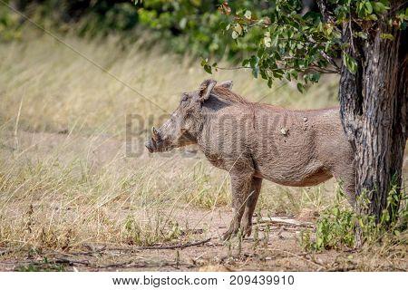 Side Profile Of A Warthog In Hwange.