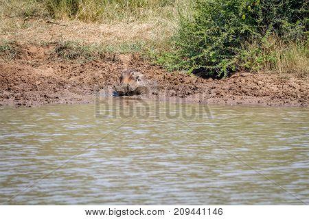 Warthog Taking A Mud Bath At A Water Dam.