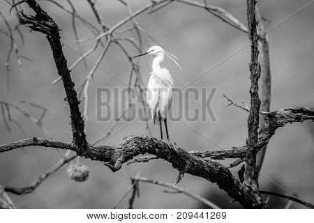 Little Egret Standing On A Branch.