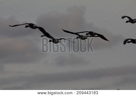 A flock of Geese flying in sky, silhouette - telephoto shot
