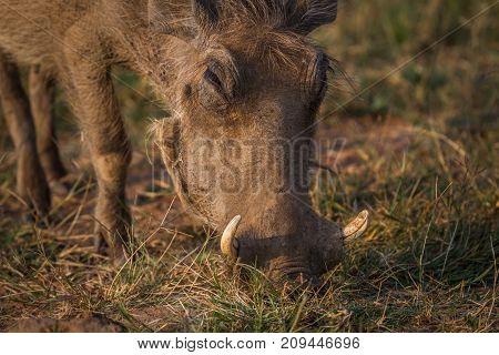 Close Up Of A Warthog Eating.
