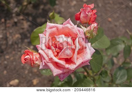 It is image of beautifull flower rose