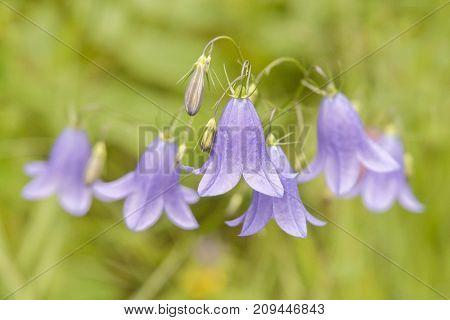 It is image of blue flower Bellflower