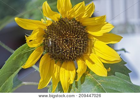 It is image of yellow flower sunflower