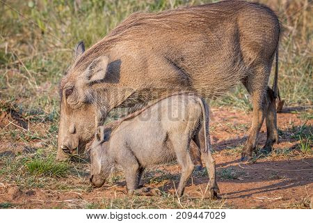 Mother And Baby Warthog Eating Grass.