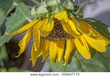It is image of yellow flover Sunflower