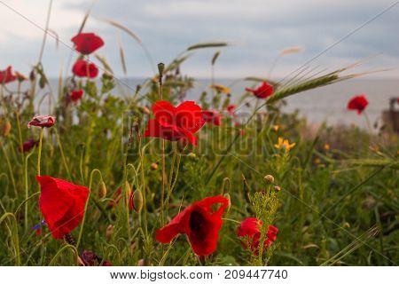Landscape: Flowering poppies on the seashore. Cyprus.