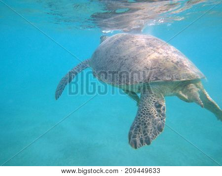a large sea turtle swims in the ocean