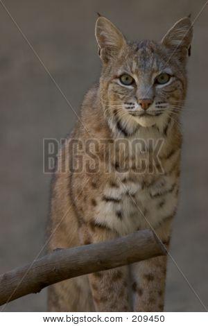 Portrait Of A Bobcat