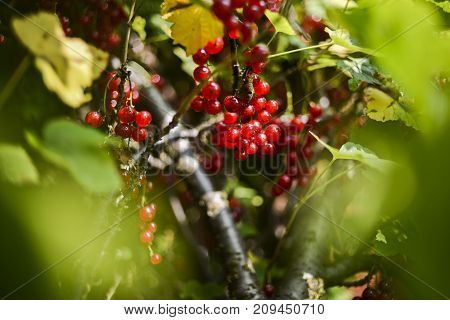 Red currants growing on a bush in a summer garden.