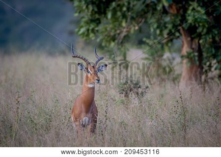 Big Male Impala Standing In The Grass.