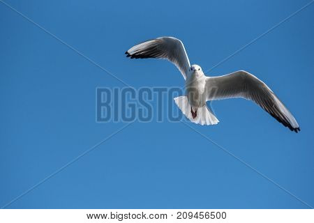 Black-headed gull (Chroicocephalus ridibundus) in flight. Flying towards camera. Nature and wild bird image. poster