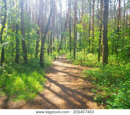 Brightly lit footpath in summer morning forest.
