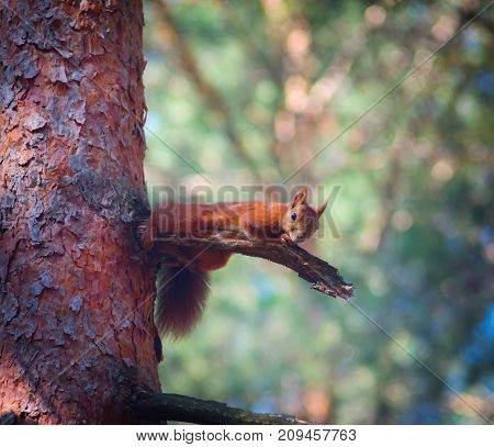 red squirrel on a tree in a pine forest