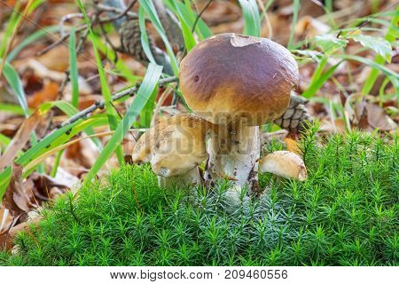 Porcini Mushroom In Forest close up of penny bun in autumn