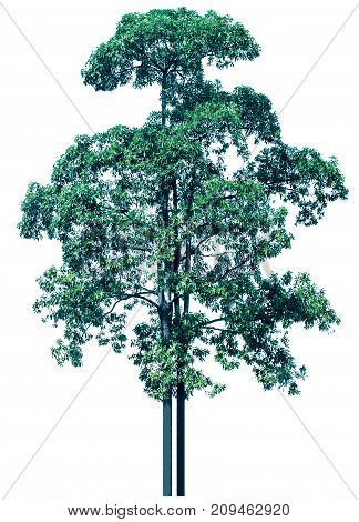 Tree isolated on white background cut out and path