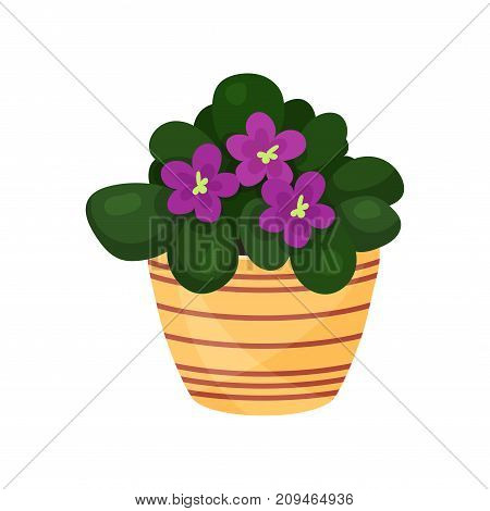 Purple violet flower houseplant, potted flower vector illustration isolated on a white background