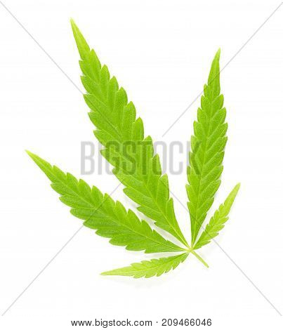 Cannabis fan leaf over white. Fresh green hemp leaf of Cannabis ruderalis, a low THC species used as tea and in traditional folk medicine. Macro food photo close up from above on white background.