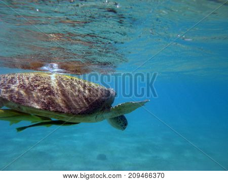 large waterfowl turtle swims under water in the sea