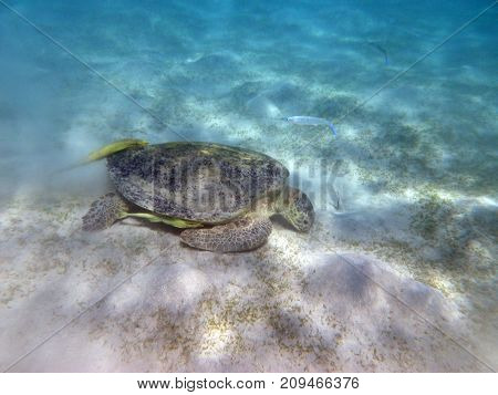 a waterfowl turtle eats grass in the sea