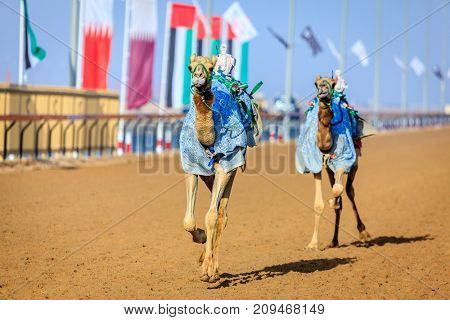Camels with robot jokeys at racing practice near Dubai, UAE