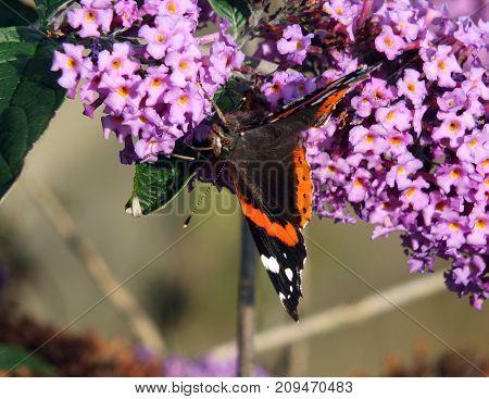 buddleia flowers with  a tortoiseshell butterfly feeding