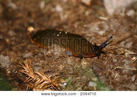 spanish slug arion ater m?rdarsnigel snail killer garden snigel murderer hermaphrodite poster