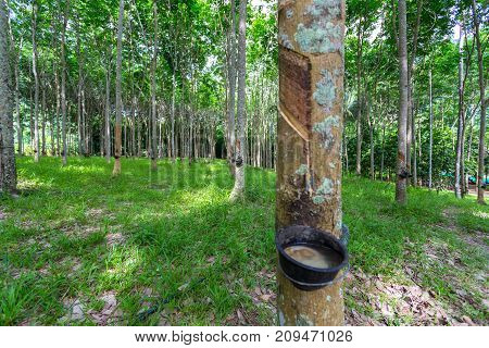 Latex trees extraction of latex in thailand
