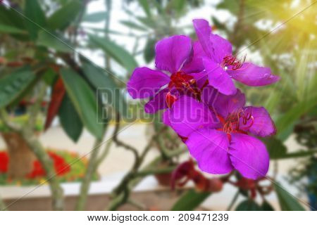 Beautiful Purple Flower with Sun ray in the garden