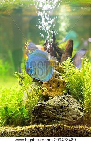 Discus (Symphysodon) multi-colored cichlids in the aquarium