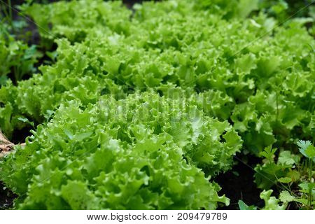 Lettuce Plants Grow In The Garden