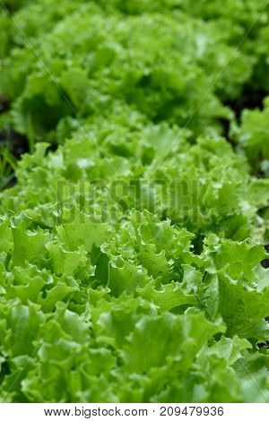 Green Lettuce Plants Grow In The Garden