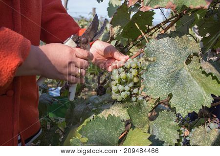 Work on vineyards during harvest. Close up of Worker's Hands Cutting White Grapes from vines during wine harvest in Georgian Vineyard. Wine concept